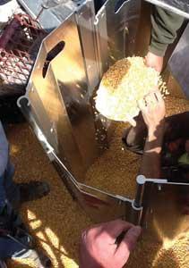 Removing grain.