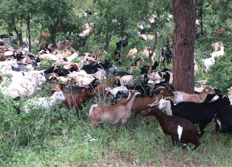 A herd of 300 goats is being used by South Metro (CO) Fire Rescue and the city of Castle Pines to mitigate landscape infrastructure around three neighborhoods.