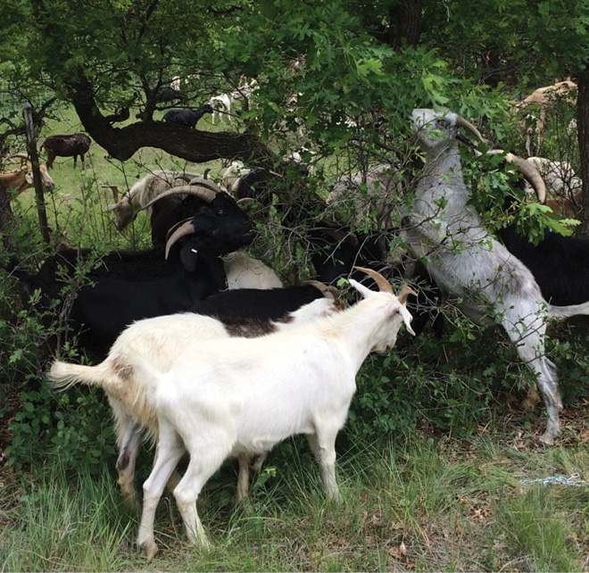 The goats eliminate most of the noxious weeds and ladder fuels, including the lower leaves of Gambel oak, forcing the oaks to regenerate leaves instead of expand their root systems.