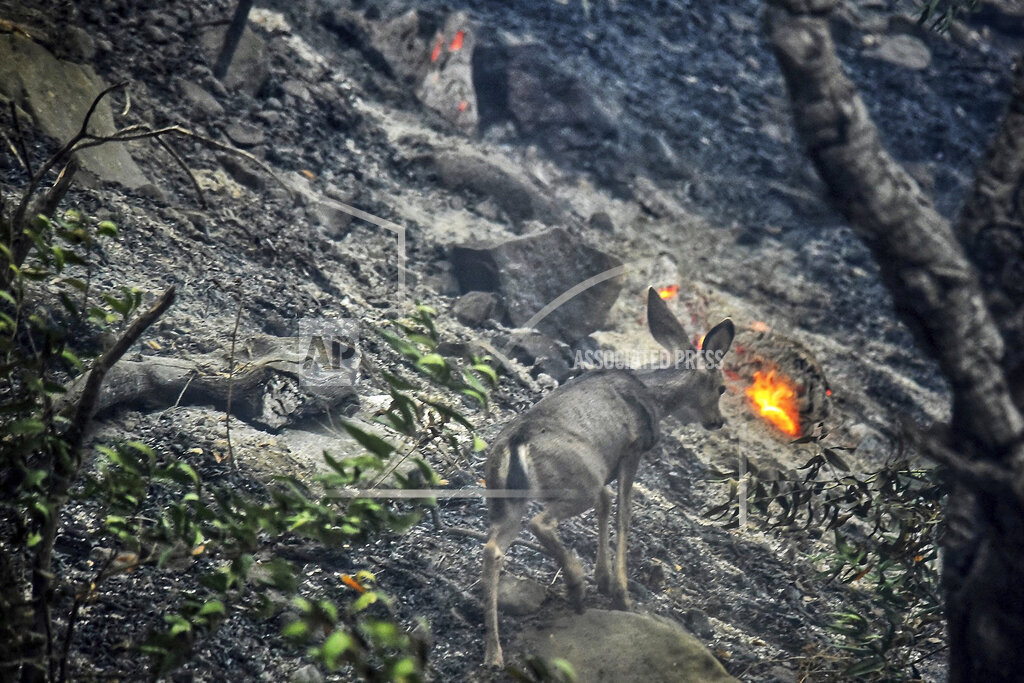 A deer scurries near a recently burned area off Refugio Rd.,